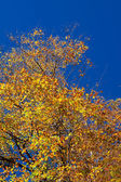 Golden fall leaves — Stock Photo