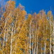 Stock Photo: Golden fall birches