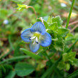 Stock Photo: Blue flower