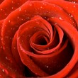 Red rose close up with drops of water - Foto de Stock  