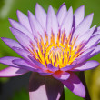 Purple lotus — Stock Photo