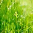 Stock Photo: Green grass - shallow depth of field