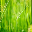 Green grass - shallow depth of field — Stock Photo #1093166