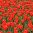 Royalty-Free Stock Photo: Field of red tulips