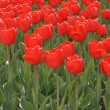 Field of red tulips — Stock Photo #1096013