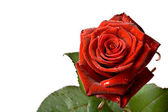 Red rose isolated on white — Stock Photo