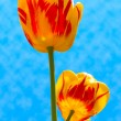 Royalty-Free Stock Photo: Two tulips in sky