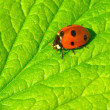 Stock Photo: Red ladybug (Coccinella septempunctata)