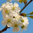 Blooming flowers of apple tree — Stock Photo