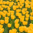 Stock Photo: Field of yellow tulips