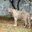 White tiger in forest - Stock Photo