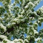 Apple tree blossom — Stock Photo