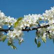 Apple tree blossoming branch — Stock Photo