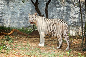 White tiger in forest — Stok fotoğraf