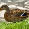 Duck — Stock Photo