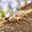 May-bug — Stock Photo