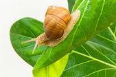 Snail on sheet — Stock Photo
