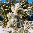 Fir-tree — Stock Photo #1628971