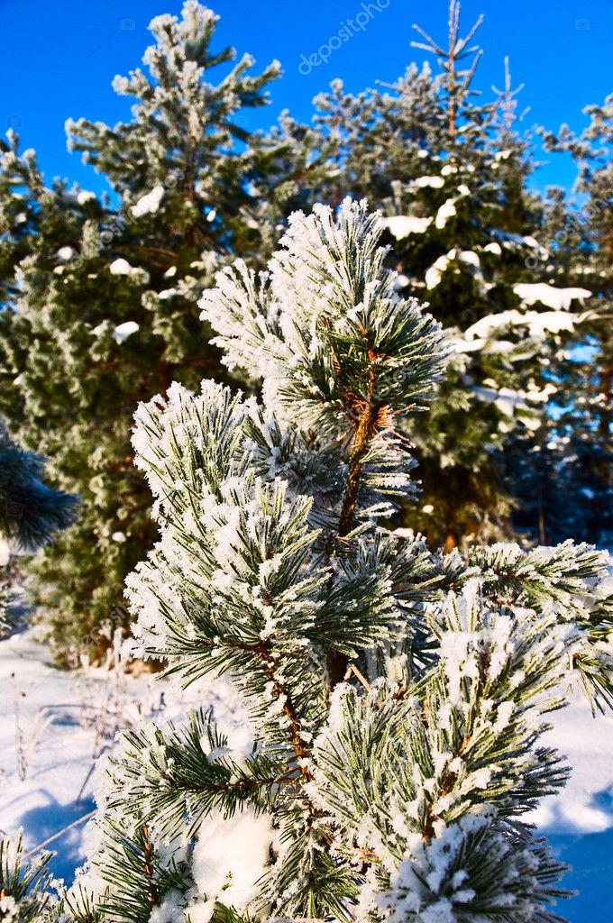 Fir-tree covered by the snow  — Stock Photo #1628971