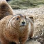 Prairie Dogs — Stock Photo #1256946