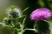 Bull thistle — Stock Photo