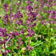 Thymus herb — Stock Photo