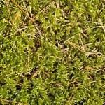 Green moss background — Stock Photo