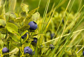 Ripe bilberry — Stock Photo