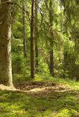 Fir-tree forest — Stock Photo