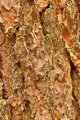 Pine texture — Stock Photo