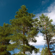 Stock Photo: Three pines