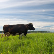 Cow and green meadow - Stock Photo
