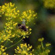 Stock Photo: Fly on dill