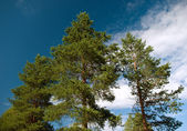 Three pines — Stock Photo