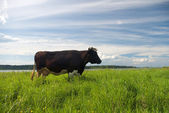 Cow and green meadow — Stock Photo