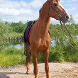 Stock Photo: Racehorse outdoor
