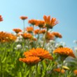 Flowerses on background blue sky,close-u — Stock Photo
