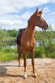 Racehorse outdoor — Stock Photo