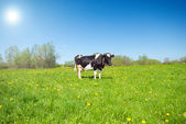 Calf in Pasture — Stock Photo