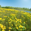 Meadow with yellow  field colour - Stock Photo