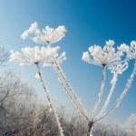 Frozenned flower on background blue sky — Stock Photo