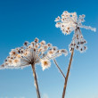 Frozenned flower on background blue sky — Stock Photo