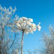 Frozenned flower on background blue sky — Stockfoto