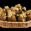 Royalty-Free Stock Photo: The sprouted tubers of a potato