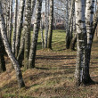 Among birches — Stock Photo #1160235