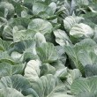 Heads of cabbage — Stock Photo