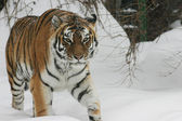 Tiger going on snow — Stock Photo
