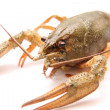 Alive crayfish - Stock Photo
