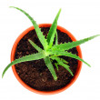 Aloe vera plant - Stock Photo