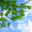 Branch with green leaves — Stock Photo #1545942